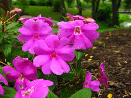 file pink flowers garden forestwander jpg wikimedia commons