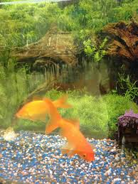 apples of your eye classroom pets fish edition