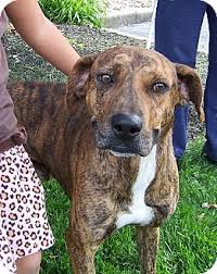 1 year old boxer dog sam is already neutered housetrained up to date with shots and