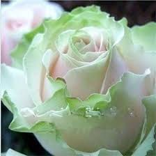green roses 2018 light green pink and white seeds seeds package new