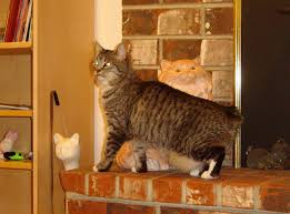 pictures of purrinn cats hostelry cat hotel guests