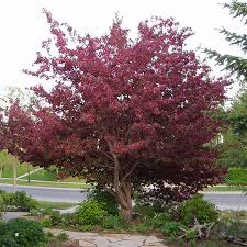 royalty crabapple tree for sale fast growing trees