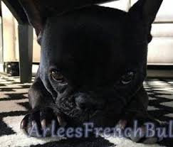nutrition for active dogs arlees french bulldogs