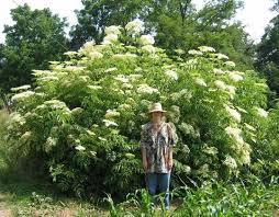 best 25 elderberry bush ideas on elderberry and