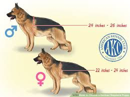 belgian shepherd how much how to choose a german shepherd puppy with pictures wikihow