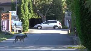 coyote goes after small dog in backyard youtube