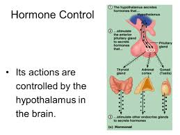 the endocrine system ppt download