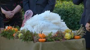 national thanksgiving turkey national thanksgiving turkey presentation videos at abc news video