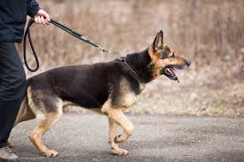 belgian shepherd vs rottweiler marshallpetzone author at marshall security