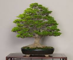 bonsai tree meaning an approach to bonsai thebedroomspace com