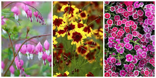 10 Perennials That Thrive In by Best Perennial Flowers Ideas For Easy Perennial Flowering Plants