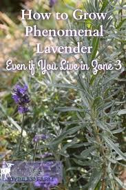 Canadian Garden Zones - how to grow phenomenal lavender even if you live in zone 3