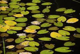 native aquarium plants field guide to aquatic plants