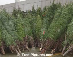 balsam fir tree cones photo