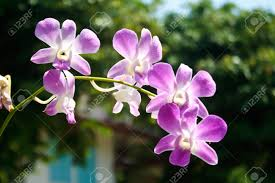 thai orchids grown as ornamental plants stock photo picture and
