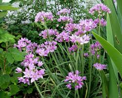 5 native plants allium unifolium zone 5 8 half dollar size lavender pink early