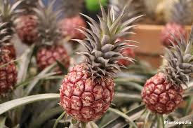 how to grow a pineapple at home plant care plantopedia