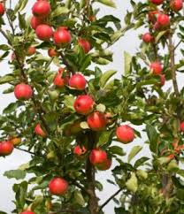 7 popular or miniature fruit trees for a limited space the