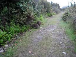 fighting or mating kiwi birds on stewart island new zealand