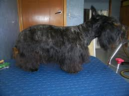 scottish yerrier haircuts pet perfectiong dog grooming site the dog gallery