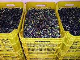 cassette per raccolta olive decomondo la raccolta delle olive in toscana