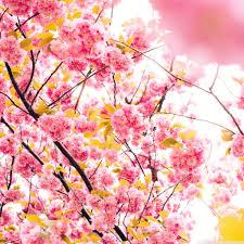japanese cherry blossom tree hd desktop wallpaper widescreen