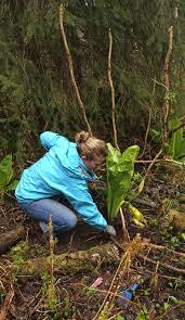 native alaskan plants harvesting devil u0027s club root u2014 alaska floats my boat