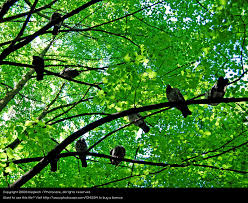 crows in the tree sky tree a royalty free stock photo from photocase