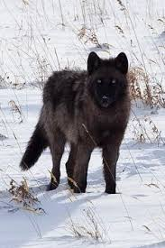 belgian sheepdog club of the rockies beaitiful belgium shepard dogs pinterest belgium and beautiful