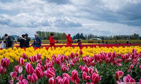 Skagit Valley Tulip Festival Bloom Map Skagit Valley Tulip Festival