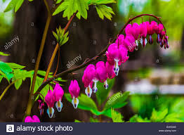 Bleeding Hearts Flowers Bleeding Hearts Flowers Surrounded By Green Leaves Stock Photo