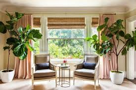 tips for growing fiddle leaf figs apartment therapy