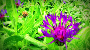 british spring blossoms centaurea montana flowers in garden