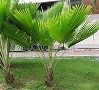 fiji fan palm tree pritchardia pacifica