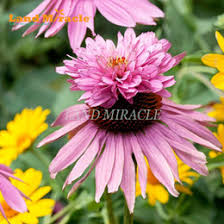 Echinacea Flower Echinacea Seeds Nz Buy New Echinacea Seeds Online From Best