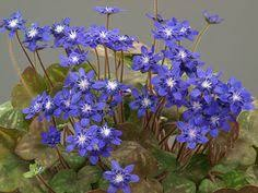 Scottish Rock Garden Forum Hepatica Nobilis Var Japonica Scottish Rock Garden Club