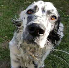 australian shepherd hunting english setter dog breed information pictures characteristics