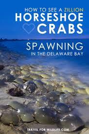 Delaware book travel images Best 25 horseshoe crab ideas bay news delaware jpg