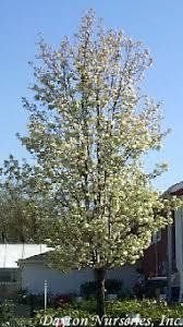 pyrus flowering pear