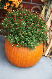 Hayden Pumpkin Patch Hours by 25 Best Mums In Pumpkins Ideas On Pinterest Pumpkin Vase Small