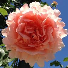 Fragrant Climbing Plant - polka rose bush 35 petals apricot fragrant climbing rose