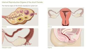 Anatomy Of The Female Reproductive System Pictures Anatomy And Physiology Of The Female Reproductive System