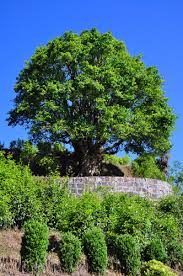 ancient tea tree worshiped in sw china 4 chinadaily cn
