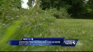 Dog In The Backyard by Backyard Coyotes Leave West Mifflin Woman Fearful For Her Dog