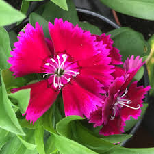 dianthus flower dianthus our edible flowers the flower deli