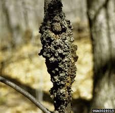 black knot fungus treating black knot disease in plums and cherries