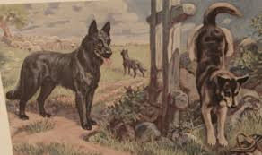belgian sheepdog art black belgian malinois mix or pure page 1