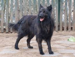 belgian sheepdog south africa saved by dogs continental shepherds dutch shepherds