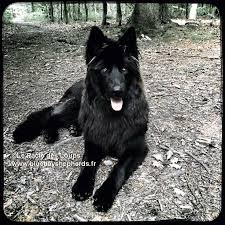 belgian sheepdog club of the rockies 8 best alaskan noble images on pinterest companion dog animals