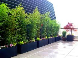 how to grow a bamboo privacy screen in containers bamboo plants